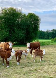 Blog_08_2020_Hereford_Herde_01