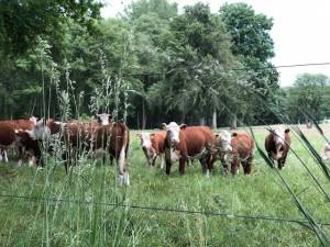 Blog_08_2020_Hereford_Herde_06